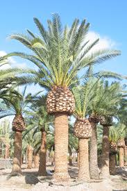 canary island palm trees
