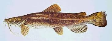 yellow belly catfish