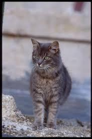 maltese cat picture