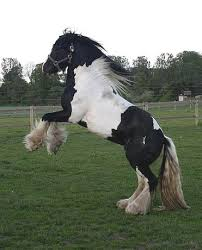 irish gypsy cob