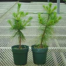 pine tree seedling