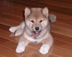 inu puppies