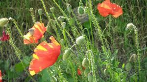 poljsko cvijece