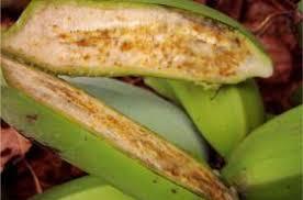 banana bacterial wilt