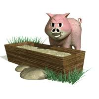 hog feeding
