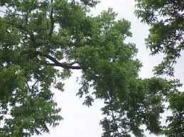 picture of pecan tree