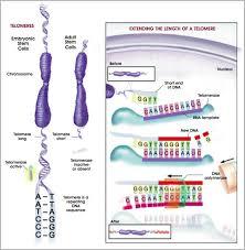 telomere.