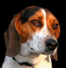 beagle lab mix puppy