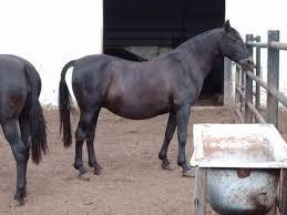 precios de caballos