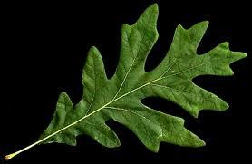 oak leaf images