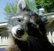 raccoon killer