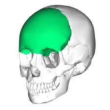 Floor Of The Cranium Frontal Bone Anterior Part Of Cranium U0026 Part Of Cranial Floor