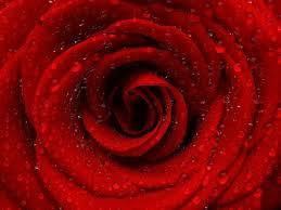 imagenes para enamorar con flores significado de las flores para enamorar pedir perdón o dar