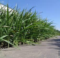 the most poisonous plants in australia hipages com au http lawnclub com au blog 3 entry 15 breeze dianella is a