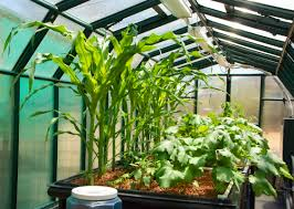 Okra Container Gardening Corn And Okra Growing In Our Aquaponics World Llc Proof Of