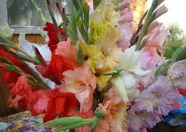 Gladiolus Flowers 100pcs Mixed Color Gladiolus Flower Seeds Garden Perennial Herb