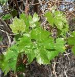 Image result for Vitis arizonica