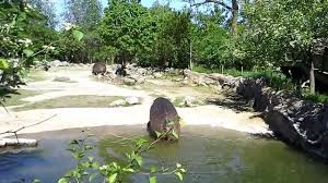 the toronto zoo hippos explotion ii youtube