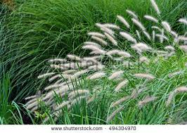 variety ornamental grass used landscaping stock photo 494304970