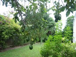 florida resident discovers alphonso mango tree in backyard