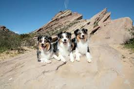 australian shepherd herding sheep australian shepherd puppy training tips u0026 breed profile
