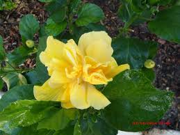 Yellow Hibiscus Flowers - hibiscus flowers in the yard this morning the daily hibiscus