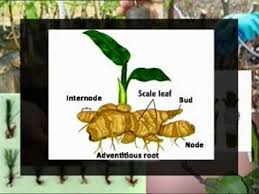 Vegetative Propagation By Roots - vegetative propagation natural means and methods youtube