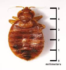 Why Do Bed Bugs Come Out At Night Bed Bugs And Travel What You Should Know U2022 Ecocare