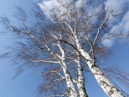 birch trees rest their branches at smart