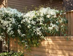Trellis With Vines Evergreen Clematis Monrovia Evergreen Clematis