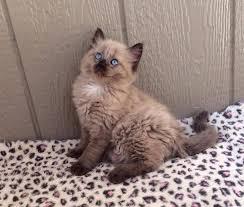 25 baby kittens sale ideas cute kittens