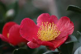 native japanese plants yuletide camellia monrovia yuletide camellia