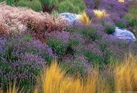 lavenders summer celebrate plants in summer gardens