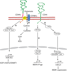 frontiers key roles of hyaluronan and its cd44 receptor in the