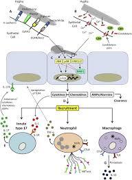 mycose b b si ge candida innate immunity at the mucosa sciencedirect