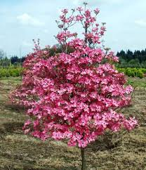 62 best trees images on flowering trees garden trees