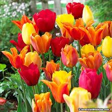 darwin tulip bulbs spring essentials mix american meadows