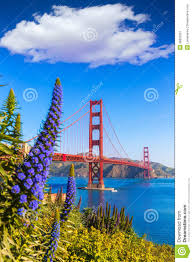 flowers san francisco golden gate bridge san francisco purple flowers california stock