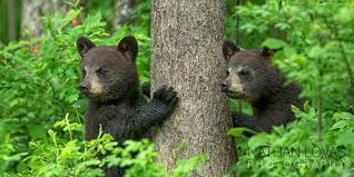 Minnesota wildlife tours images Black bear cubs nathan lovas photography workshops tours jpg