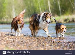 australian shepherd spaniel mix beagle mix stock photos u0026 beagle mix stock images alamy