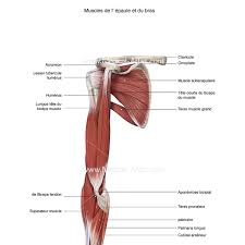 Shoulder And Arm Muscles Anatomy Muscular System Medical Illustrations Ready To Create And License