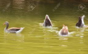 four funny ducks swimming and diving stock photo picture and