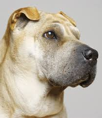 a complete guide to the shar pei dog breed