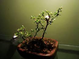 indoor bonsai tree growing and care indoor plants expert