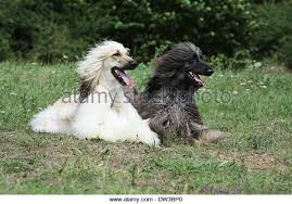 afghan hound and poodle greyhounds brindle color stock photos u0026 greyhounds brindle color