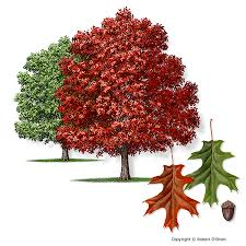 what is a fast growing shade tree for and central