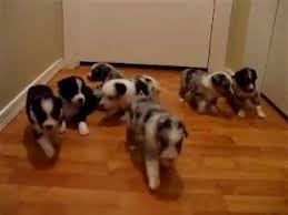 australian shepherd 8 weeks new all star mini aussie puppies 3 weeks old come when called