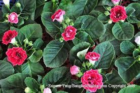 ornamental house plants in thailand gloxinias gf violets