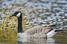 black friday canada goose canada goose facts for kids naturemapping