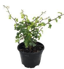 Eugenia Topiary Plants Bonsai Pre Bonsai Page 1 Hirt U0027s Gardens